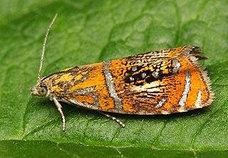 <i>Olethreutes arcuella</i> Species of moth