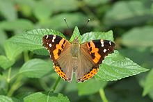 Open wing position of Vanessa indica Herbst, 1794 – Indian Red Admiral WLB DSC 0002 (7).jpg
