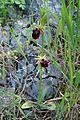 Ophrys mammosa kz17.jpg