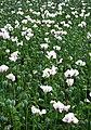 Opium poppies, Tunworth - geograph.org.uk - 496812.jpg