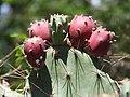 Opuntia striata var. dillenii-2-keylaiyur-yercaud-salem-India.jpg