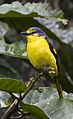 Orange Minivet (Pericrocotus flammeus flammeus) female by N. A. Naseer.jpg