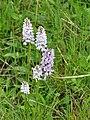 Orchidées Saint-Georges-Nigremont D32 près les Cantines (5).jpg
