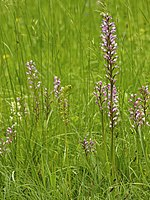 Orchid meadow LC0352.jpg