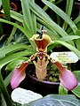 Orchidaceae Paphiopedilum hirsutissimum 2.jpg