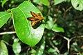 Oriens goloides Moore, 1881 – Smaller Dartlet at Mayyil 2014 (4).jpg