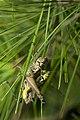 Orthoptera (30285869806).jpg