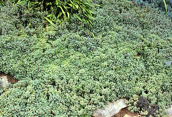 English: Oscularia deltoides. Succulent used i...