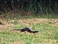 Otter IMG 5532-2.jpg