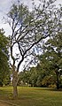 Over 100 year old Pittosporum phillyraeoides.jpg
