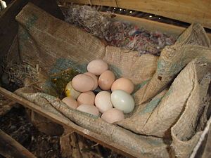 Chicken coop - Eggs in a chicken coop.