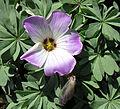 Oxalis adenophylla (8659907740).jpg