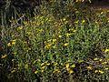 P20141030-0036—Bahiopsis laciniata—RPBG (15535481498).jpg