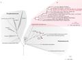 PMID- 26038723-fig-1-Vampirovibrio-chlorellavorus.png