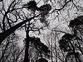 PP Černý orel, koruny stromů.jpg
