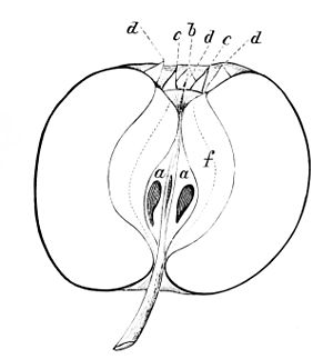 PSM V05 D153 Section of an apple.jpg