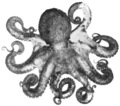 PSM V67 D091 Vancouver coast octopus.png