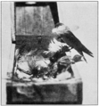 PSM V76 D555 White bellied martin feathering her nest.png