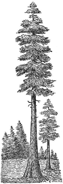 PSM V79 D455 Large coniferous tree of california.png