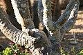 Pachypodium lamerei lamerei 2zz.jpg