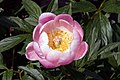 Paeonia lactiflora May Treat 0zz.jpg