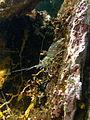 Palaemon serratus Common Prawn.jpg