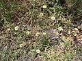 Pallenis spinosa 03-06-DingliCliffs 02.jpg