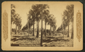 Palmetto trees at Fort George, Florida, from Robert N. Dennis collection of stereoscopic views.png