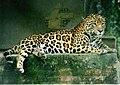 Panthera onca (cropped).jpg