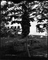 Papaya Tree (1), photograph by Brother Bertram.jpg