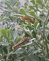 Papilio machaon caterpillars 2.jpg
