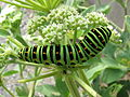 Papilio machaon larva large.jpg