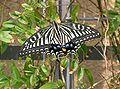 Papilio xuthus2.jpg
