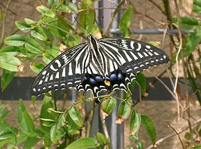Description de l'image Papilio xuthus2.jpg.
