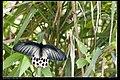 Papilionidae (10779888684).jpg