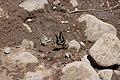 Papilionidae eurymedon on creek bank 2.jpg