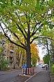 Partisan oak in Kyiv.jpg