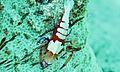 Partner Shrimp Periclimenes imperator (6097130018).jpg