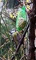 Parus caeruleus near feeder.jpg