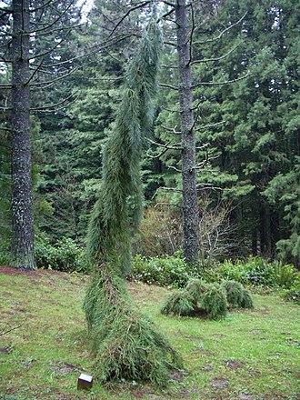 Hoyt Arboretum - Weeping Sequoia (Sequoiadendron giganteum 'Pendulum') in Hoyt Arboretum