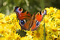 Peacock Butterfly at Shanklin Chine.jpg