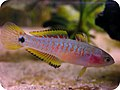 Peacock gudgeon female.jpg