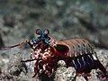 Peacock mantis shrimp (Odontodactylus scyllarus) (16245381575).jpg