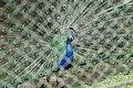 Peacock opening its wings.jpg