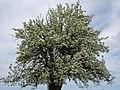 Pear tree blossom May 2018 Western New York.jpg
