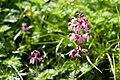 Pedicularis chamissonis var. japonica 12.jpg