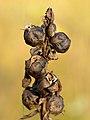 Pedicularis sceptrum-carolinum - Seed capsules - Niitvälja bog.jpg