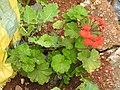 Pelargonium x hortorum-2-halgranoya-Sri Lanka.jpg