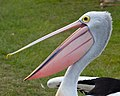 Pelican at Pelican Park waiting for a fish-05+ (2632074477).jpg