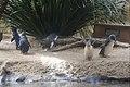 Penguins at WILD LIFE Sydney Zoo, Australia (Ank Kumar) 04.jpg
